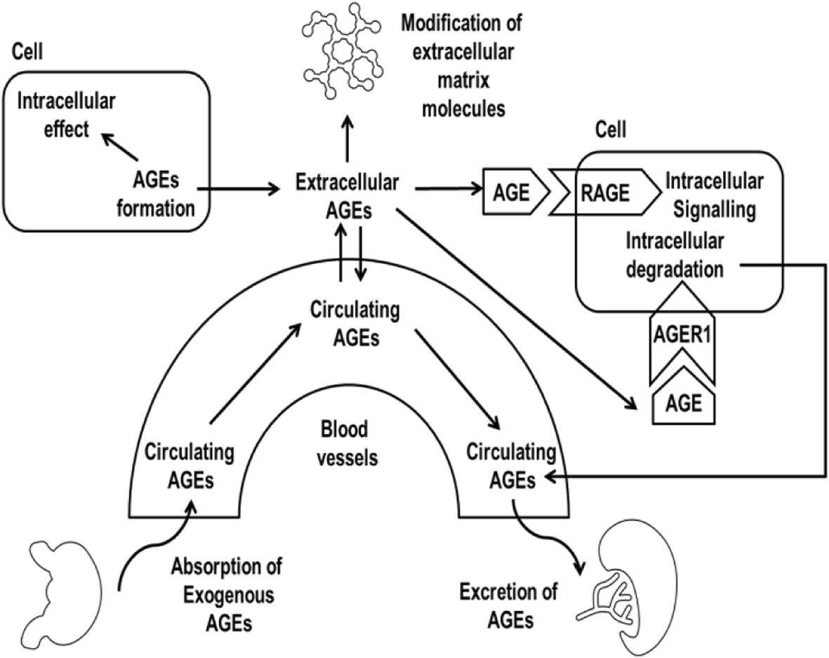 role of advanced glycation end products in mobility and Vitamin D Metabolism Diagram fig 2