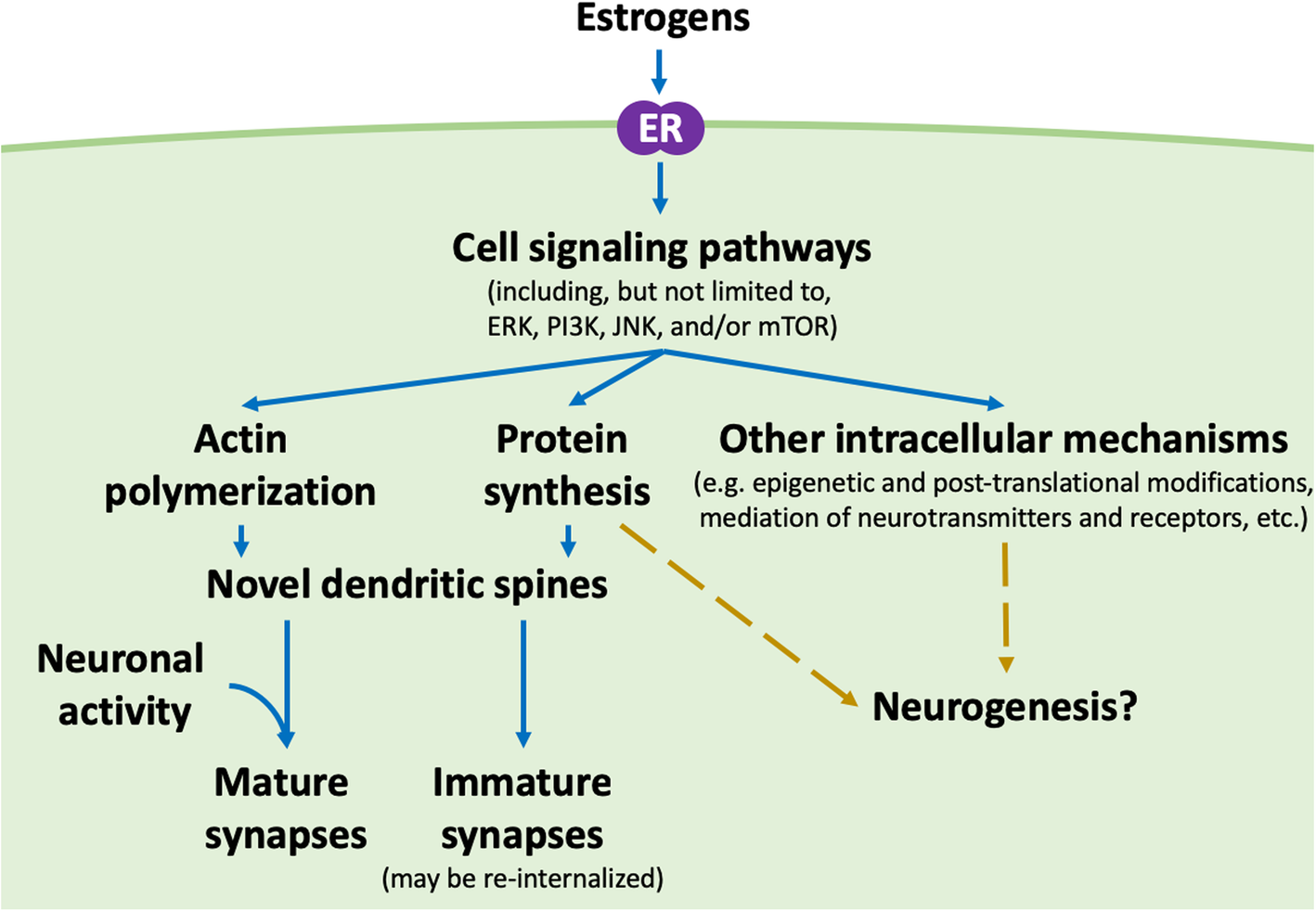 Structural plasticity of the hippocampus in response to estrogens in on