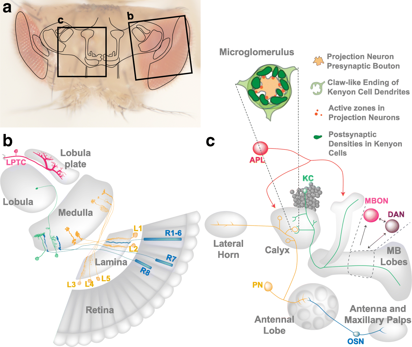 Structural Aspects Of Plasticity In The Nervous System Drosophila 64 Et Wiring Diagram Fig 2 Visual And Olfactory Circuit