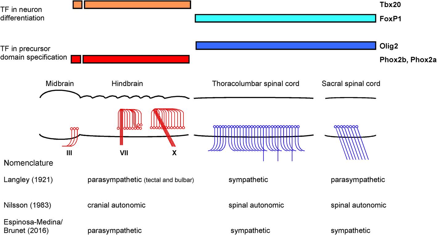 over stimulation of parasympathetic nervous system