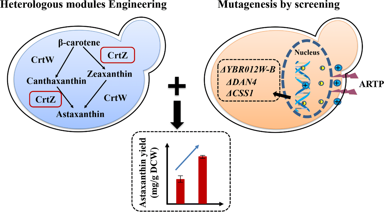 Astaxanthin Overproduction In Yeast By Strain Engineering And New