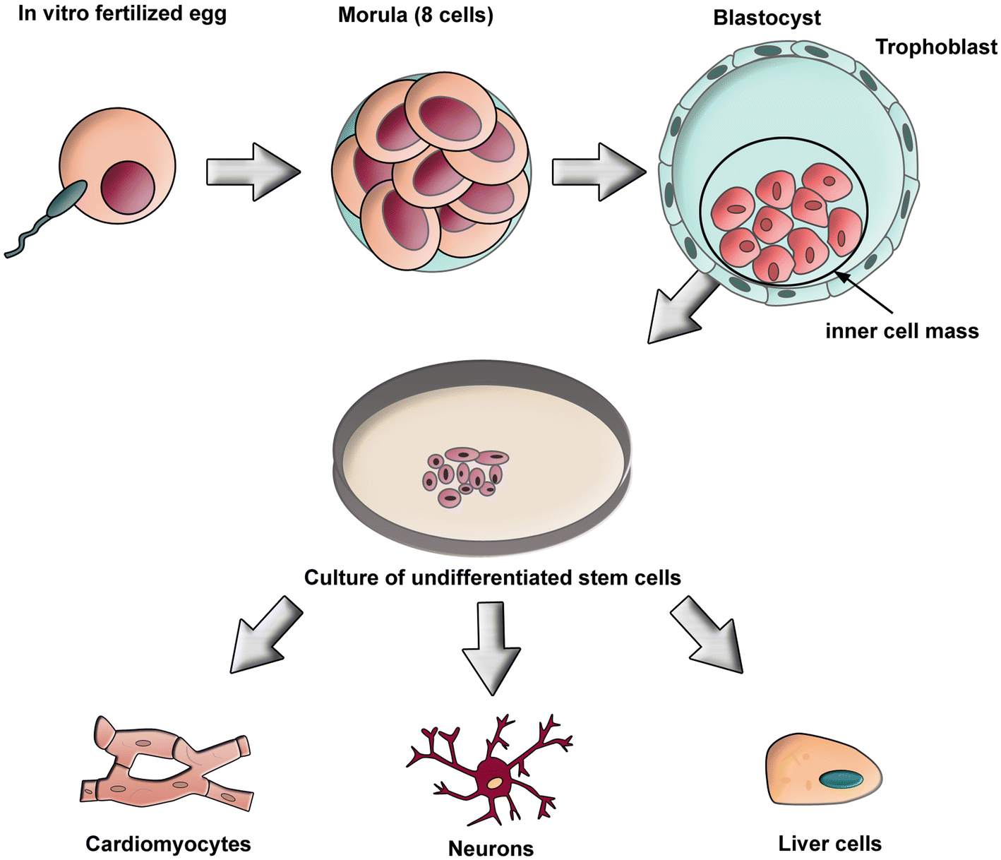 The March Of Pluripotent Stem Cells In Cardiovascular Regenerative Diagram 88 Internal Structure And Blood Flow Through Heart Fig 1