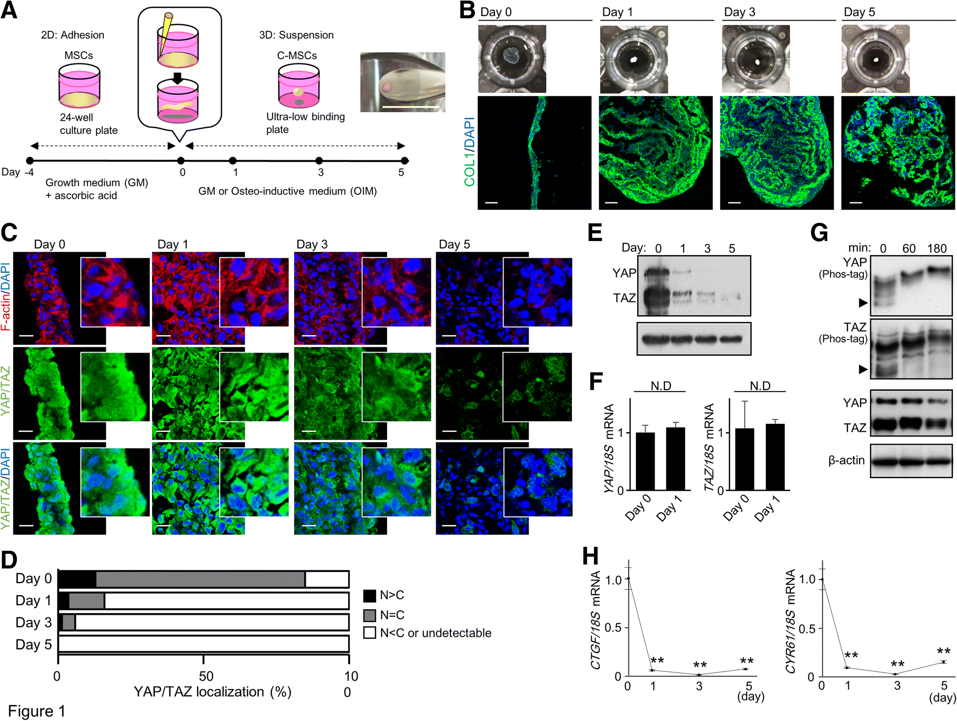 10ecc05d08b Type I collagen deposition via osteoinduction ameliorates YAP TAZ ...