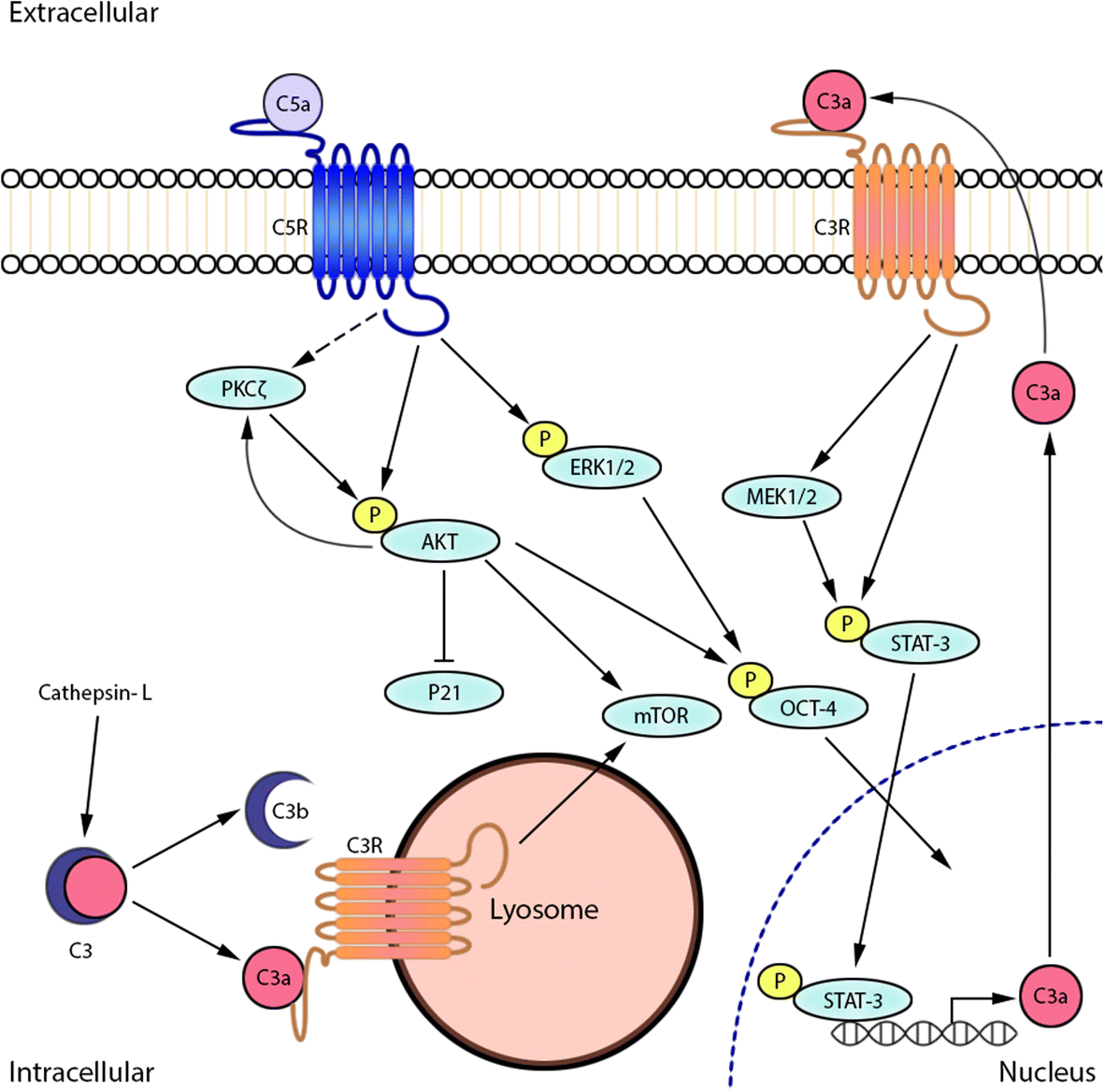 The Complement System In Glioblastoma Multiforme Acta Series Circuit Wchaverri39s Blog Fig 2