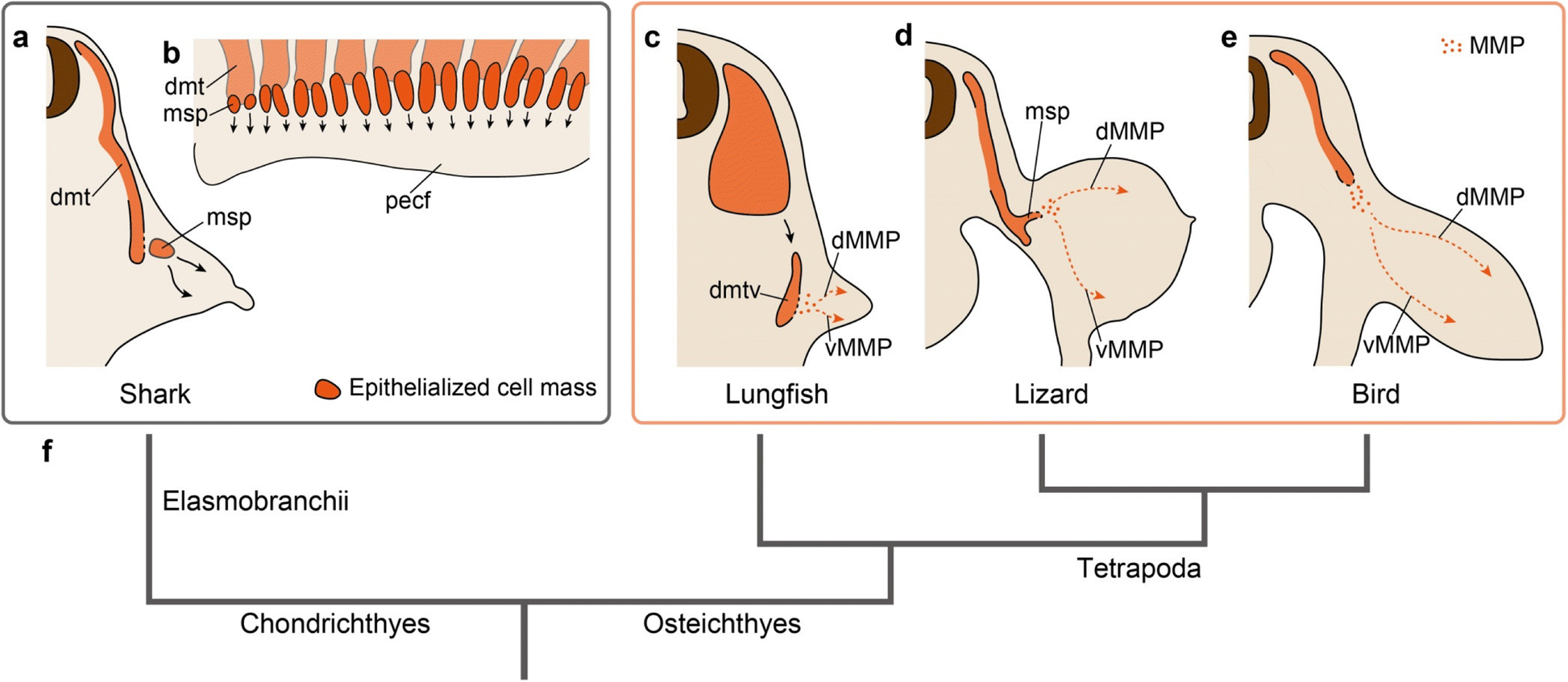 Evolution Of The Muscular System In Tetrapod Limbs Zoological Chicken Wing Tendon Diagram Body Systems Fig 5