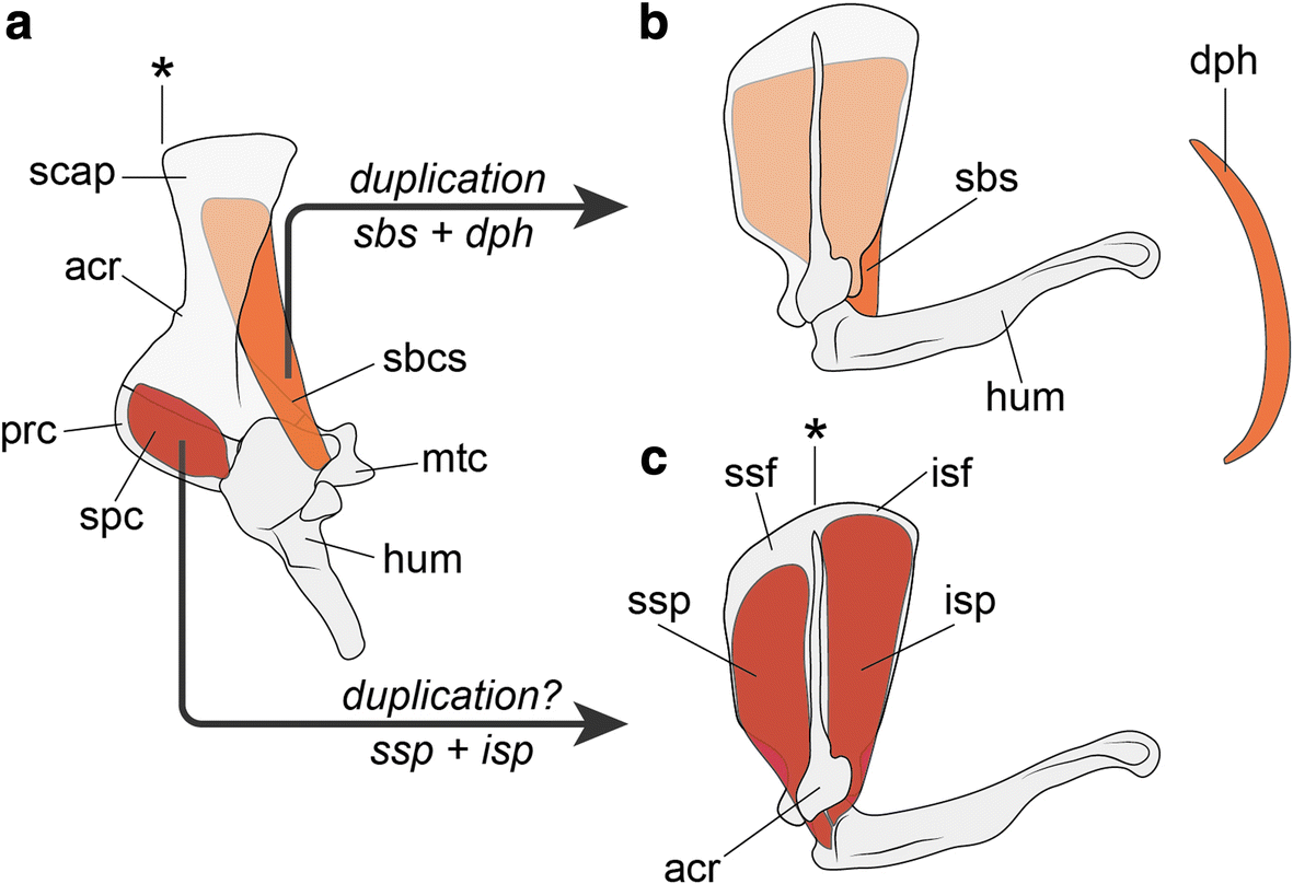 Evolution Of The Muscular System In Tetrapod Limbs Zoological