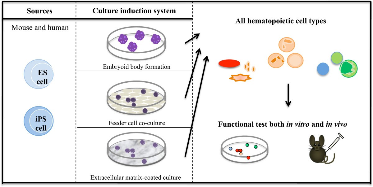 Hematopoietic Cell Differentiation From Embryonic And