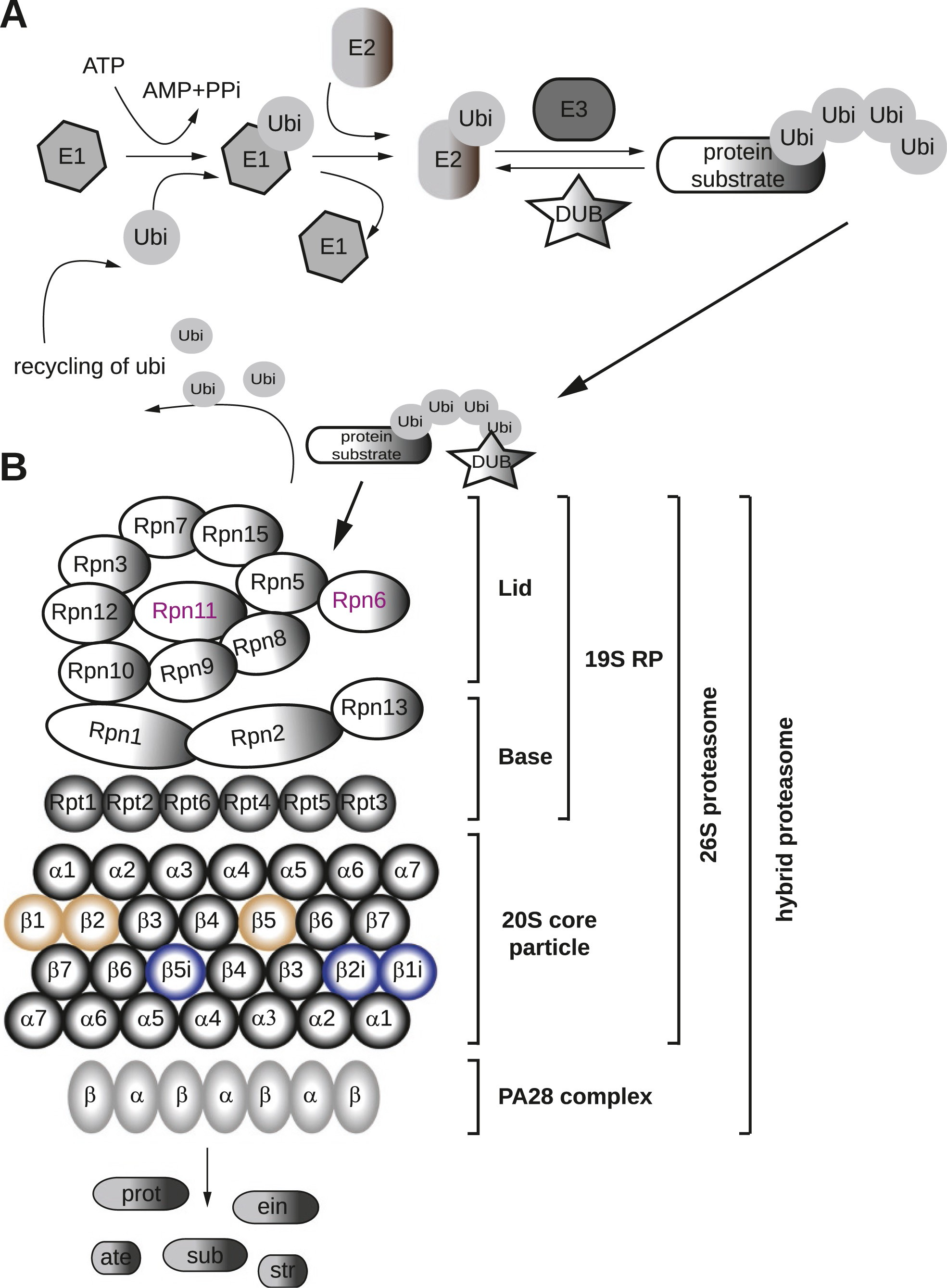 The Proteasome Complex And The Maintenance Of Pluripotency