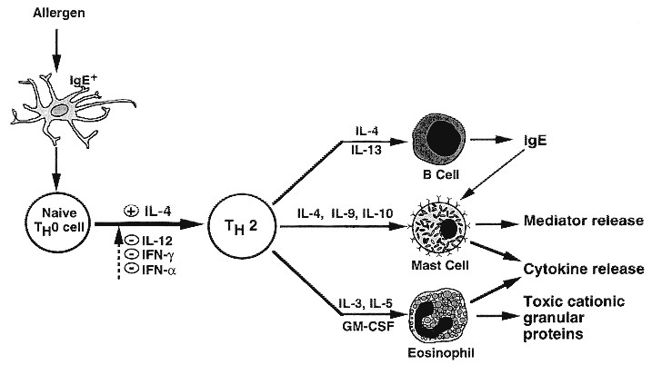 Immunologic Basis of Chronic Allergic Diseases: Clinical Messages