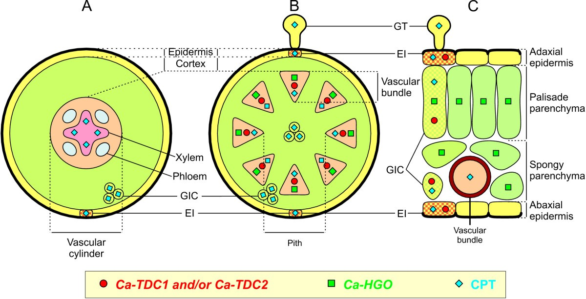 Cell-specific expression of tryptophan decarboxylase and ...
