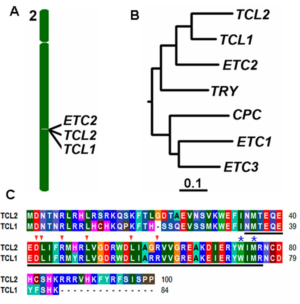 Functional characterization of TRICHOMELESS2, a new single ...