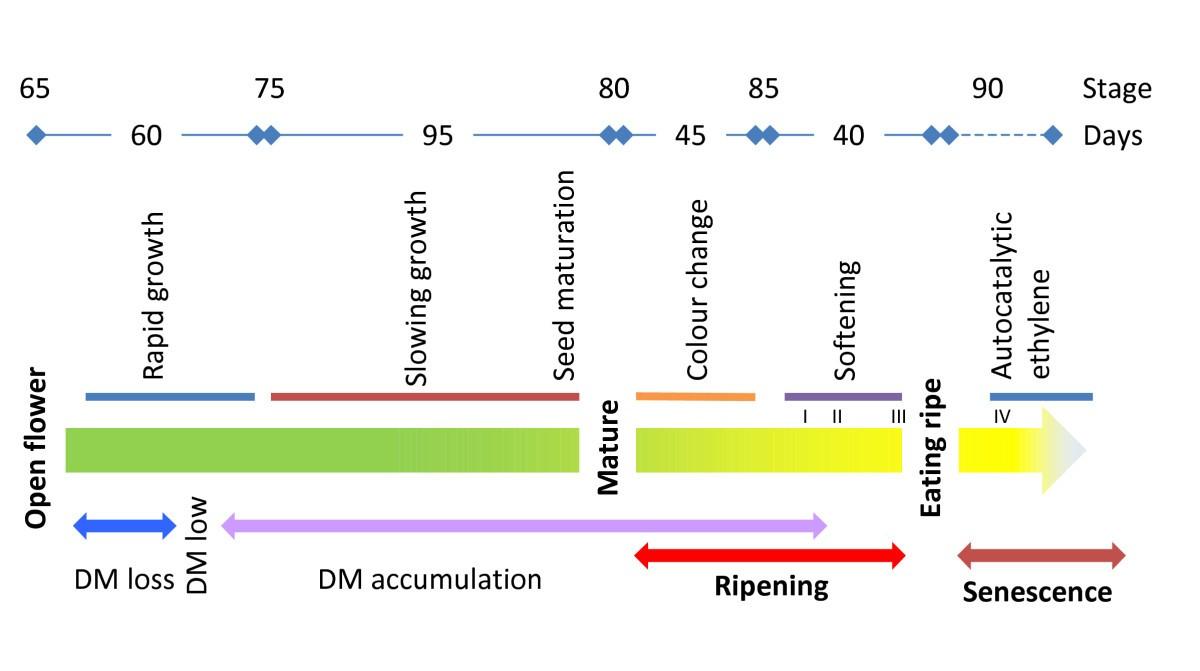 fruit development of the diploid kiwifruit actinidia diagram of anatomy of lungs #13