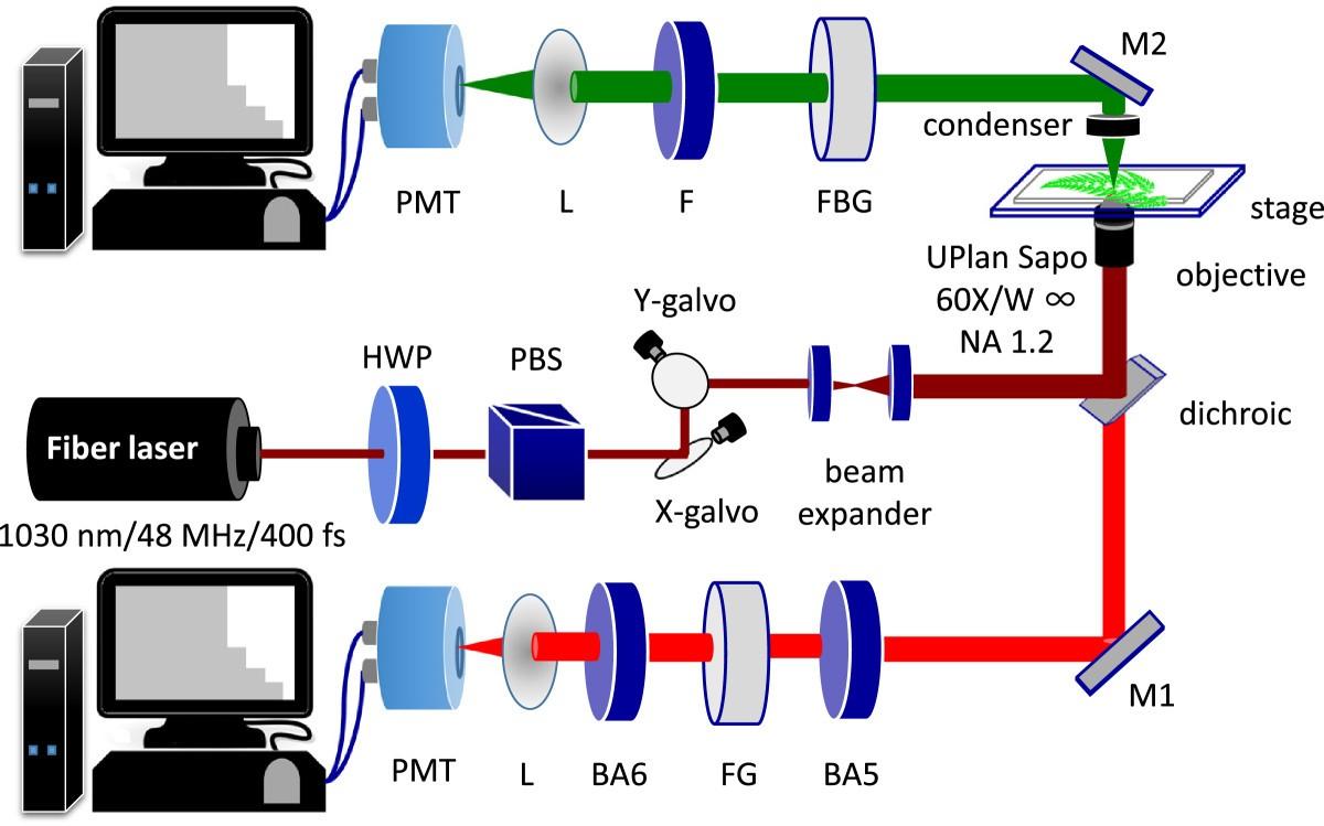 Multiphoton Imaging To Identify Grana Stroma Thylakoid