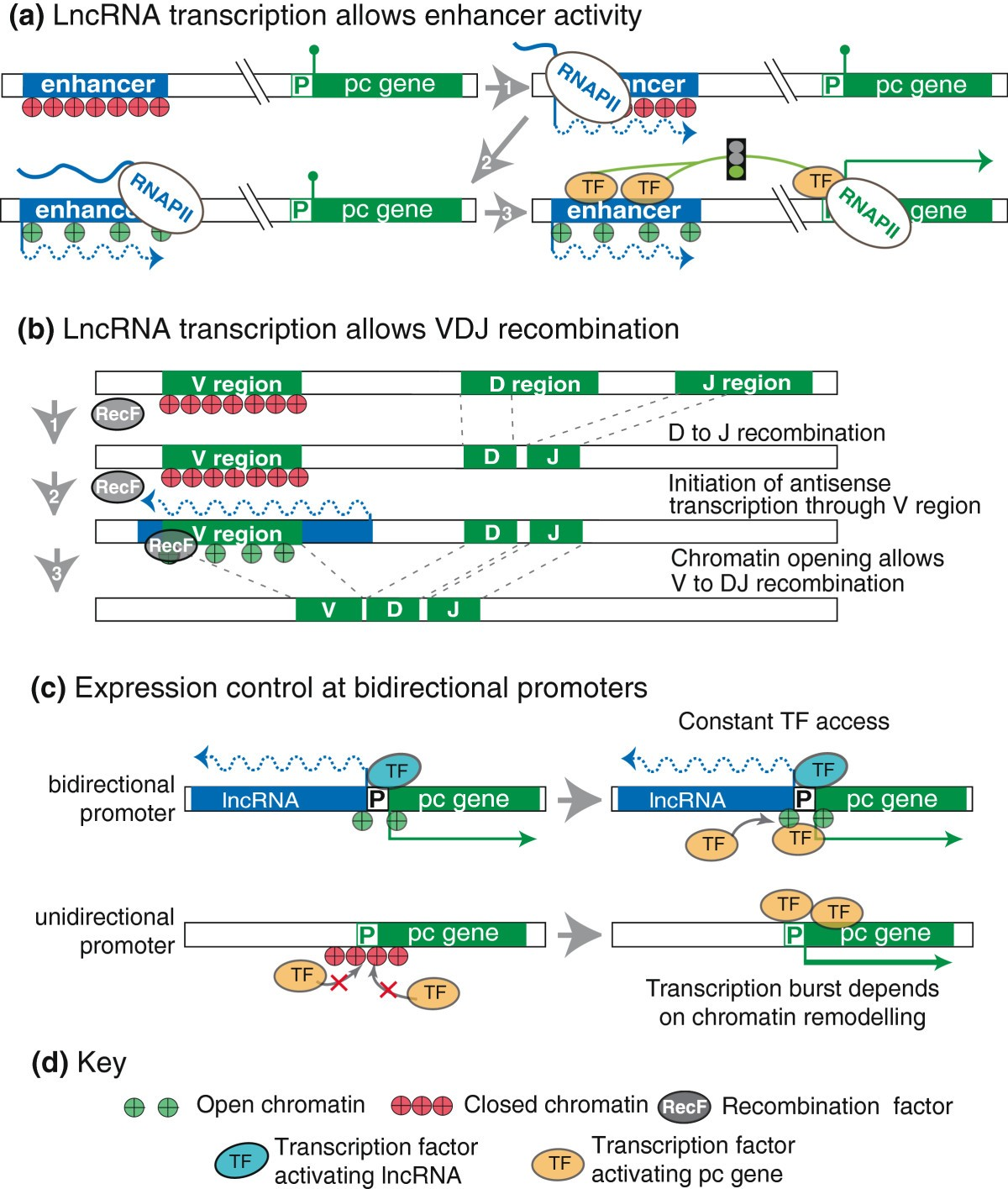 Gene Regulation By The Act Of Long Non-coding RNA