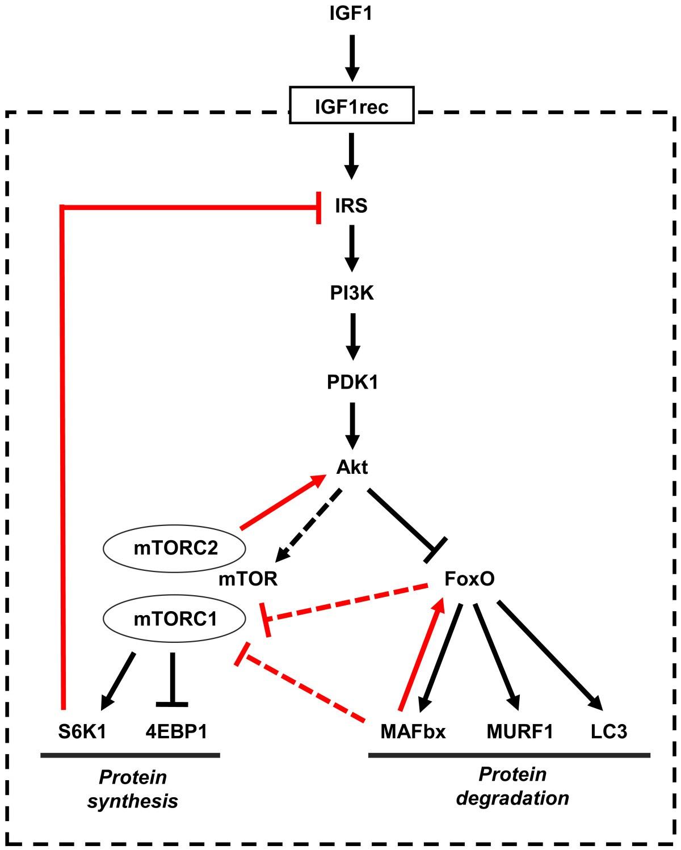 The PI3k-Akt-mTOR pathway.   Download Scientific Diagram