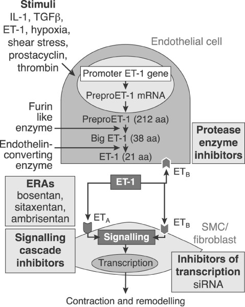 How Does Endothelial Cell Injury Start The Role Of