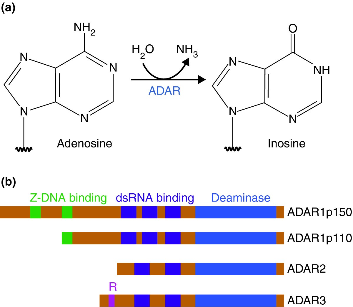 Adenosine-to-inosine RNA Editing And Human Disease