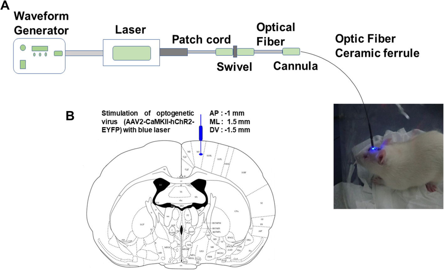 Optogenetic stimulation of the motor cortex alleviates ...