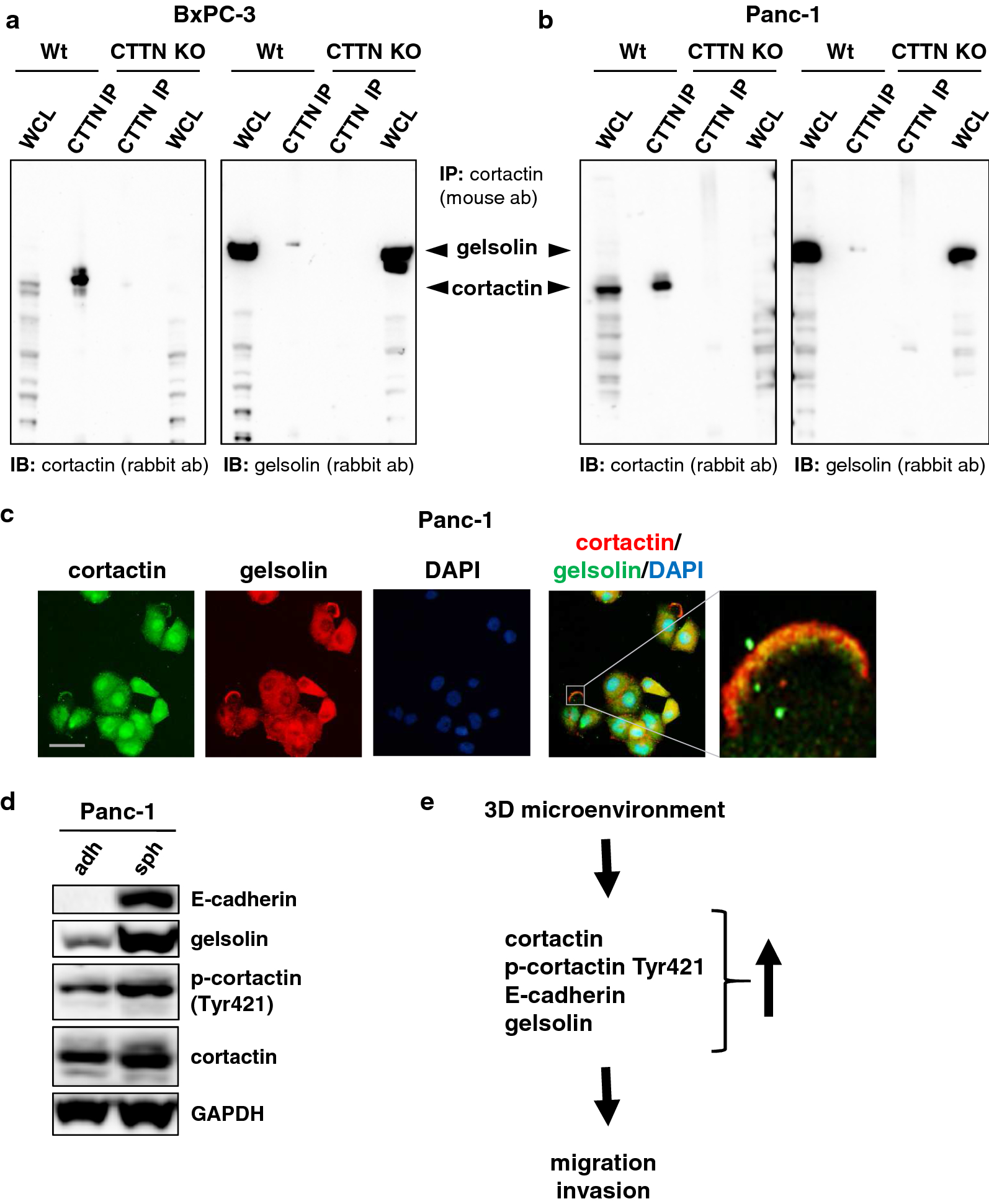 Immunoprecipitation Ip: Overexpression And Tyr421-phosphorylation Of Cortactin Is