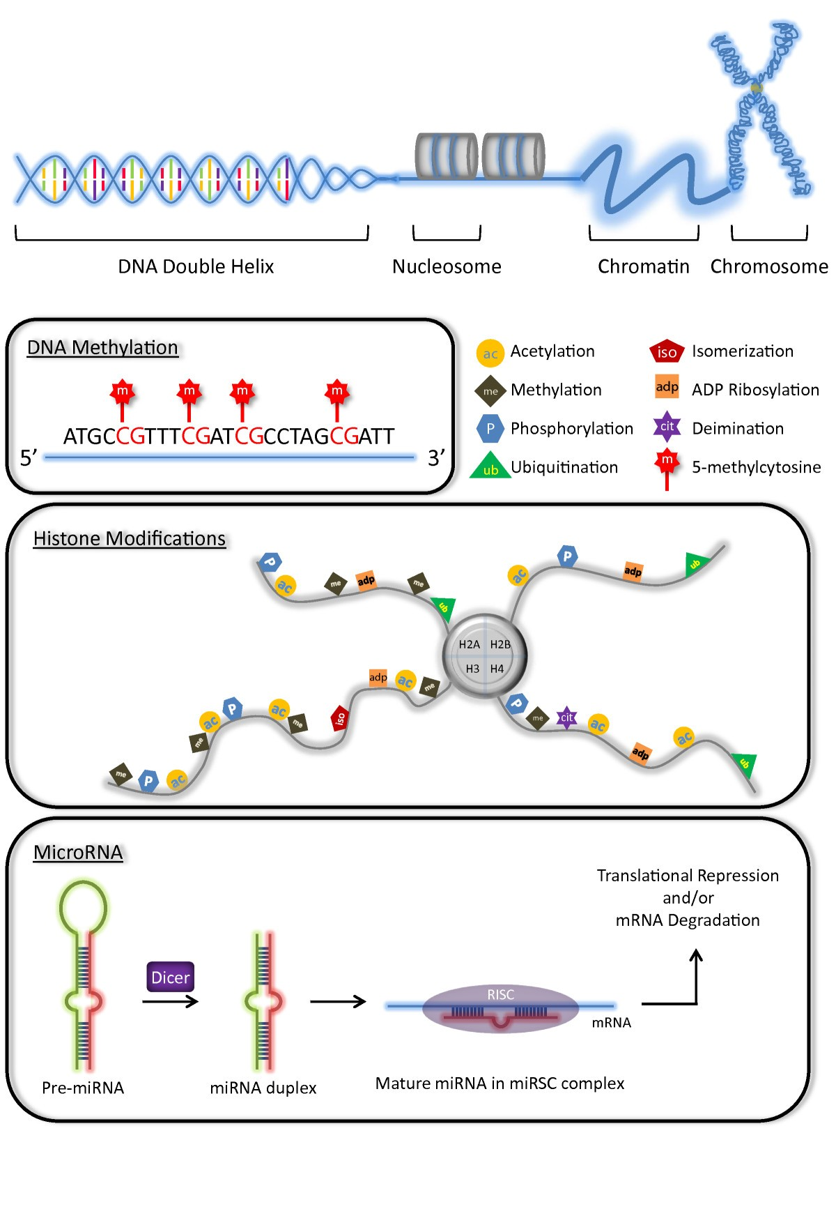 Human Pluripotent Stem Cell Derived Cardiomyocytes For