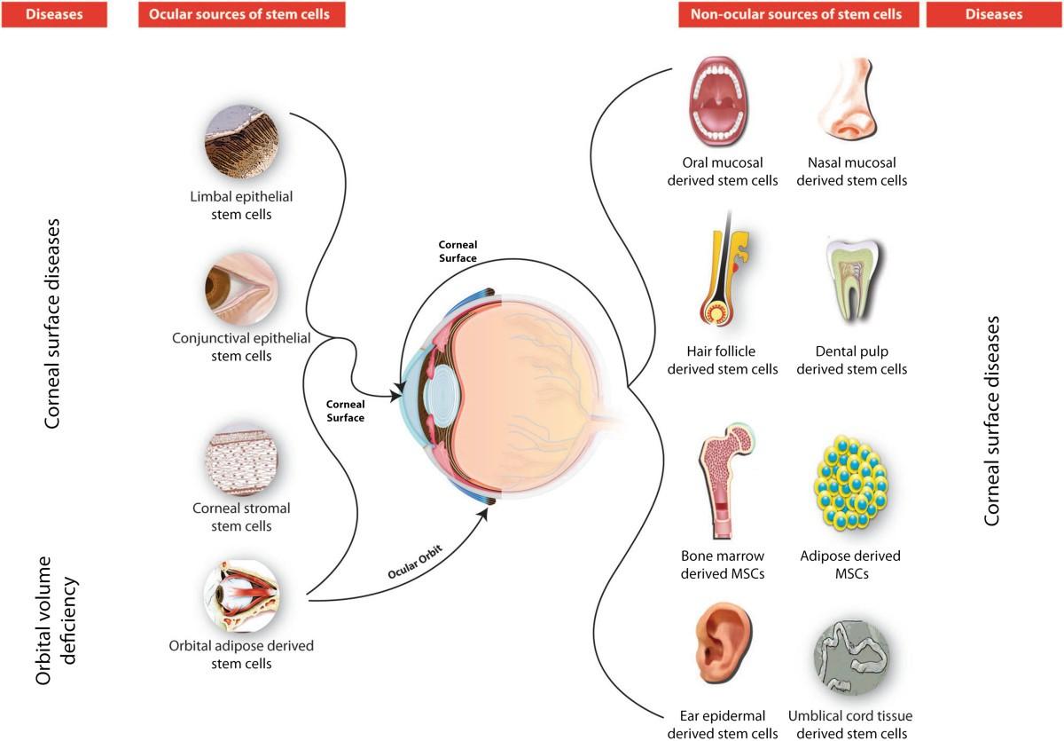 Ocular Stem Cells A Status Update Stem Cell Research