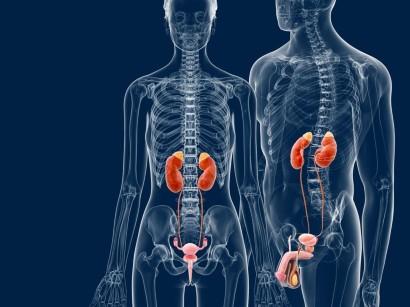 Niere: Lage, Funktion und Erkrankungen | springerpflege.de