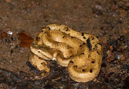 Hyponatraemia and seizures in Merrem's hump-nosed pit viper (Hypnale hypnale) envenoming: a case report