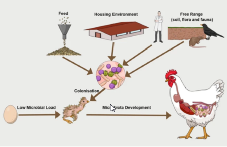 Poultry feeds carry diverse microbial communities that influence chicken intesti