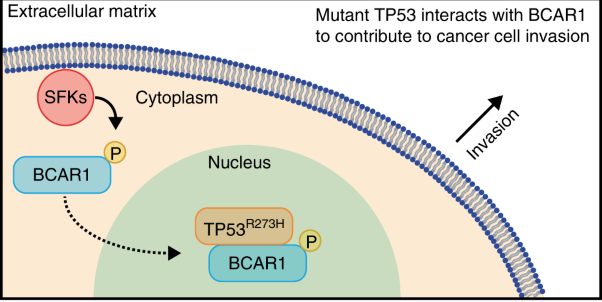 Mutant TP53 interacts with BCAR1 to contribute to cancer cell invasion