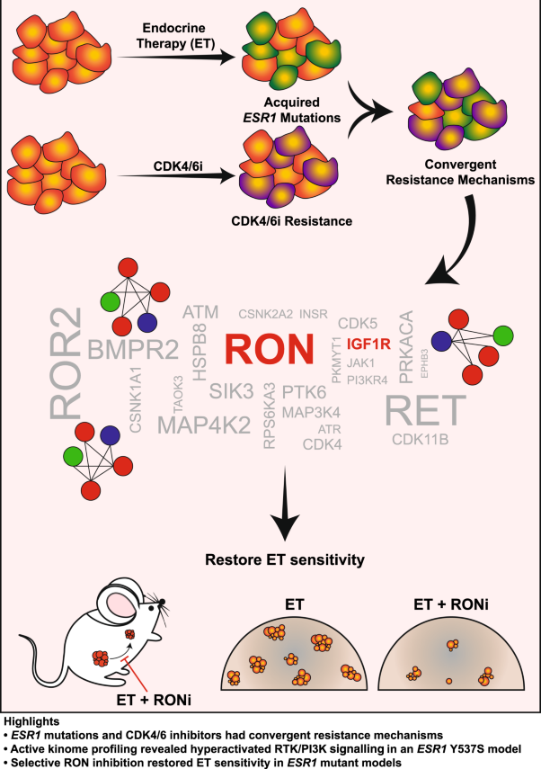 RON signalling promotes therapeutic resistance in <i>ESR1</i> mutant breast cancer