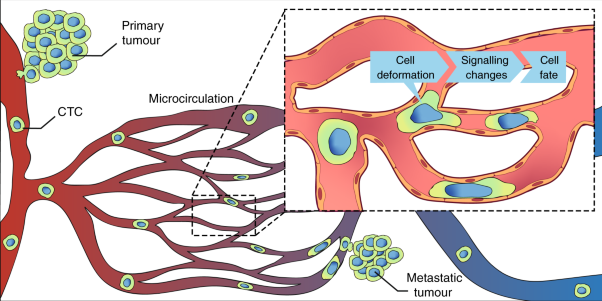Squeezing through the microcirculation: survival adaptations of circulating tumour cells to seed metastasis