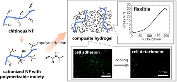 Development of chitinous nanofiber-based flexible composite hydrogels capable of cell adhesion and detachment