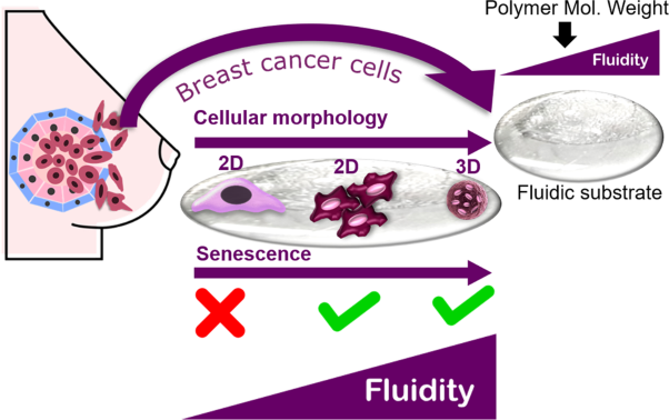 Fluidic substrate as a tool to probe breast cancer cell adaptive behavior in response to fluidity level