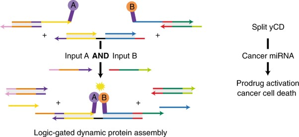 Dynamic protein assembly by programmable DNA strand displacement