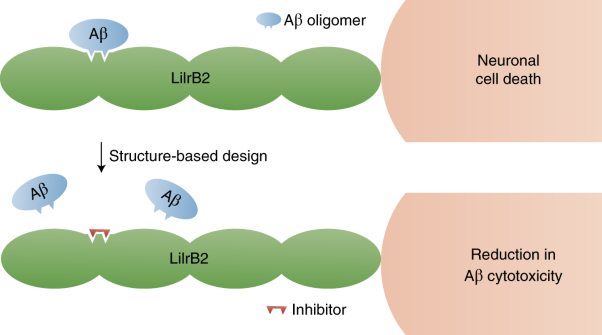 Inhibiting amyloid-β cytotoxicity through its interaction with the cell surface receptor LilrB2 by structure-based design