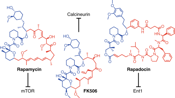 Rapamycin-inspired macrocycles with new target specificity