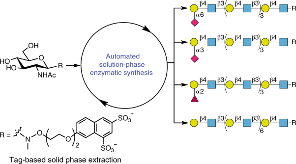 An automated platform for the enzyme-mediated assembly of complex oligosaccharides