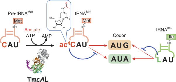 Acetate-dependent tRNA acetylation required for decoding fidelity in protein synthesis