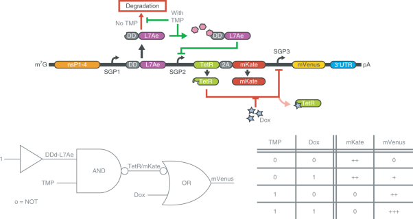 Small-molecule-based regulation of RNA-delivered circuits in mammalian cells
