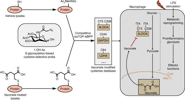 S-glycosylation-based cysteine profiling reveals regulation of glycolysis by itaconate