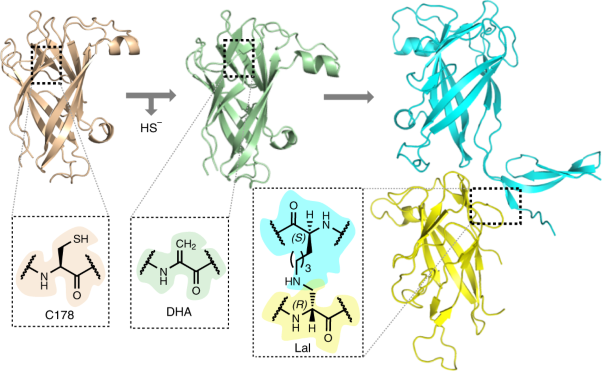 Structure and chemistry of lysinoalanine crosslinking in the spirochaete flagella hook