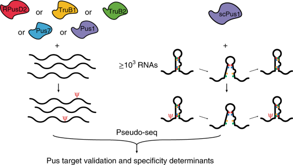 mRNA structure determines modification by pseudouridine synthase 1