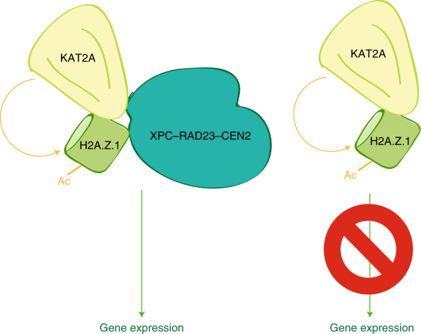 DNA repair complex licenses acetylation of H2A.Z.1 by KAT2A during transcription