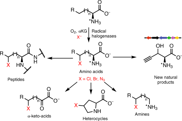 A family of radical halogenases for the engineering of amino-acid-based products