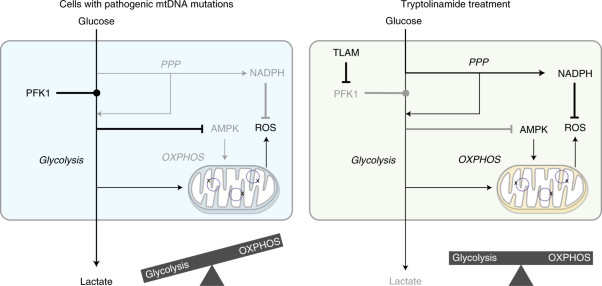 Chemical reversal of abnormalities in cells carrying mitochondrial DNA mutations