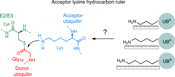 Linkage-specific ubiquitin chain formation depends on a lysine hydrocarbon ruler