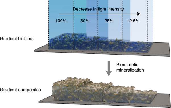 Living materials fabricated via gradient mineralization of light-inducible biofilms