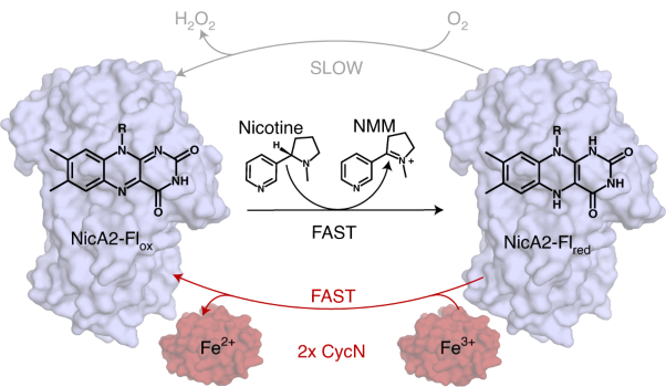A cytochrome <i>c</i> is the natural electron acceptor for nicotine oxidoreductase