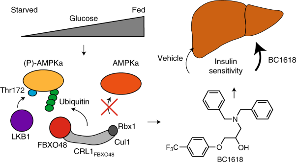 A Fbxo48 inhibitor prevents pAMPKα degradation and ameliorates insulin resistance