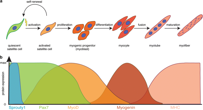 progenitorne mišićne stanice